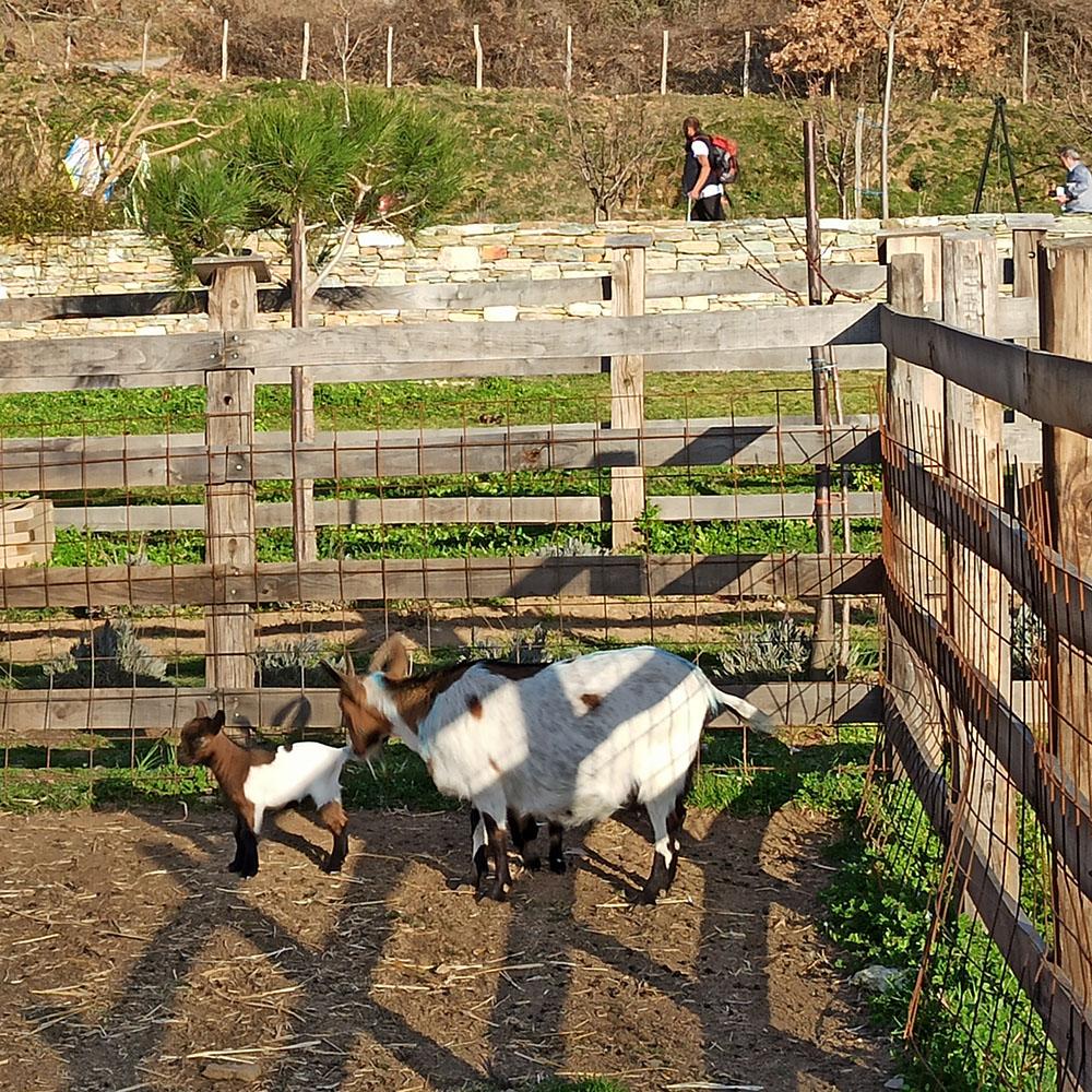 portaria greece karaiskos farm mini goats pelion